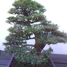 Midland-bonsai-show-1551031502
