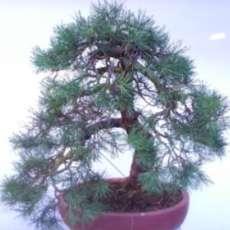 South-staffs-bonsai-show-1580414280