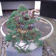 Bonsai-demonstration-1580414732